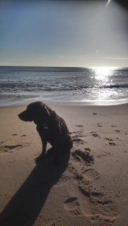 my pet labrador dog sits in the sun on the beach