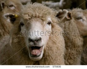 image of a sheep with open mouth making a bleating sound